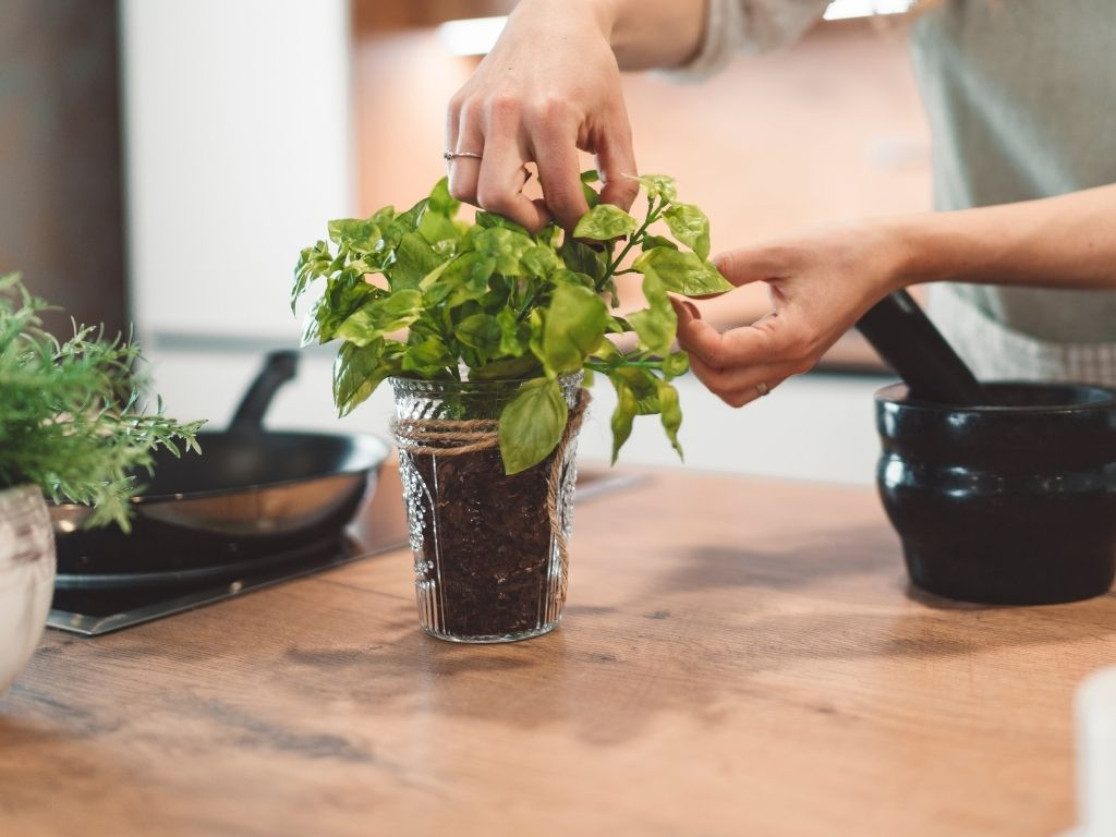picking herbs from a basil plant